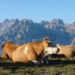 Die Rinderrassen