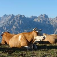 Le razze bovine